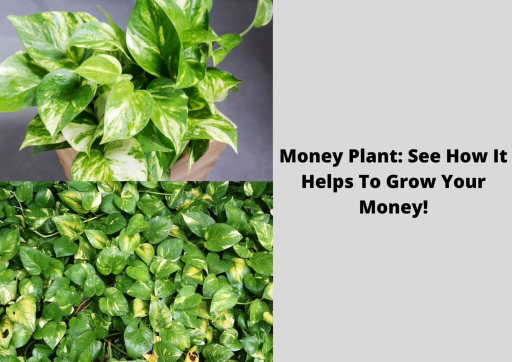 Money Plant: See How It Helps To Grow Your Money